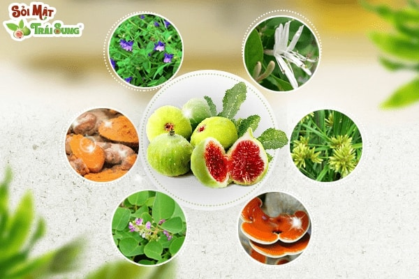 Sỏi mật trái sung chữa sỏi mật