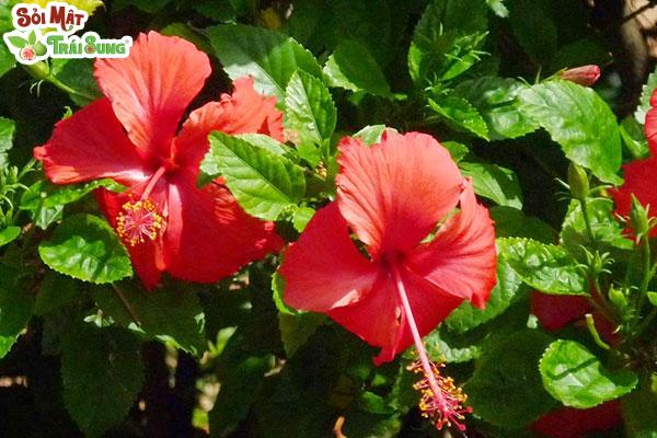 tri sỏi thận bằng hoa dâm bụt
